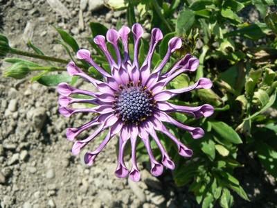 floraison aout P1140727