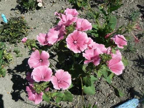 floraison aout P1140812