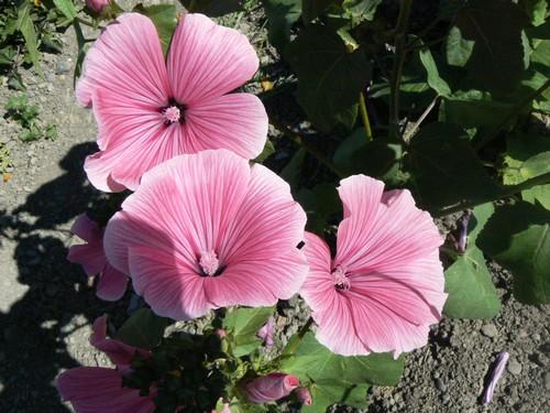 floraison aout P1140813