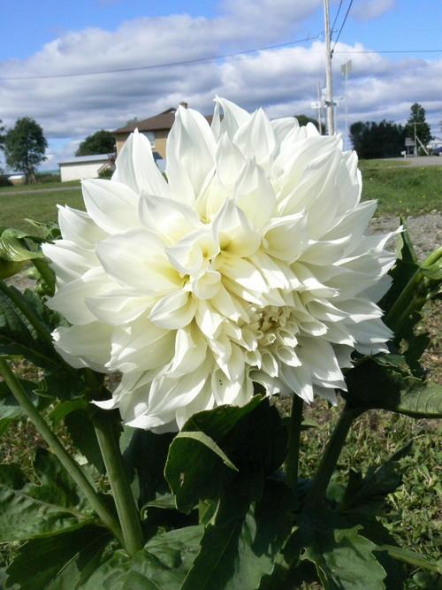 floraison aout P1140817