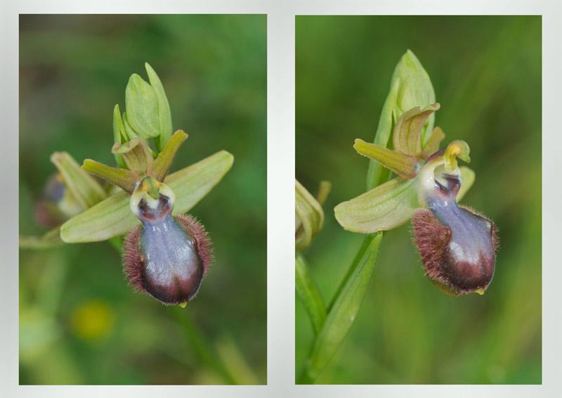 macules d'ophrys mouvance arachnitiformis Incuba10