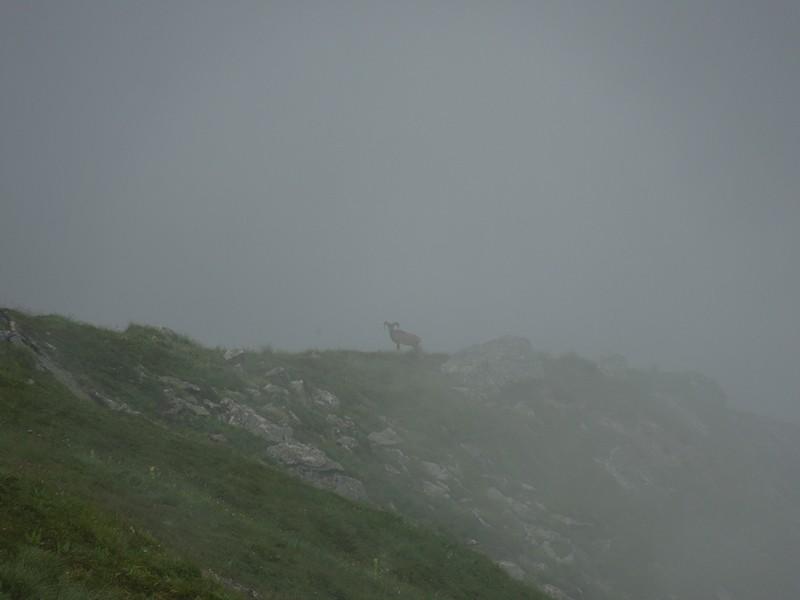 VOLCANISME : le puy de Sancy, ses orgues basaltiques et ses mouflons Mouflo10