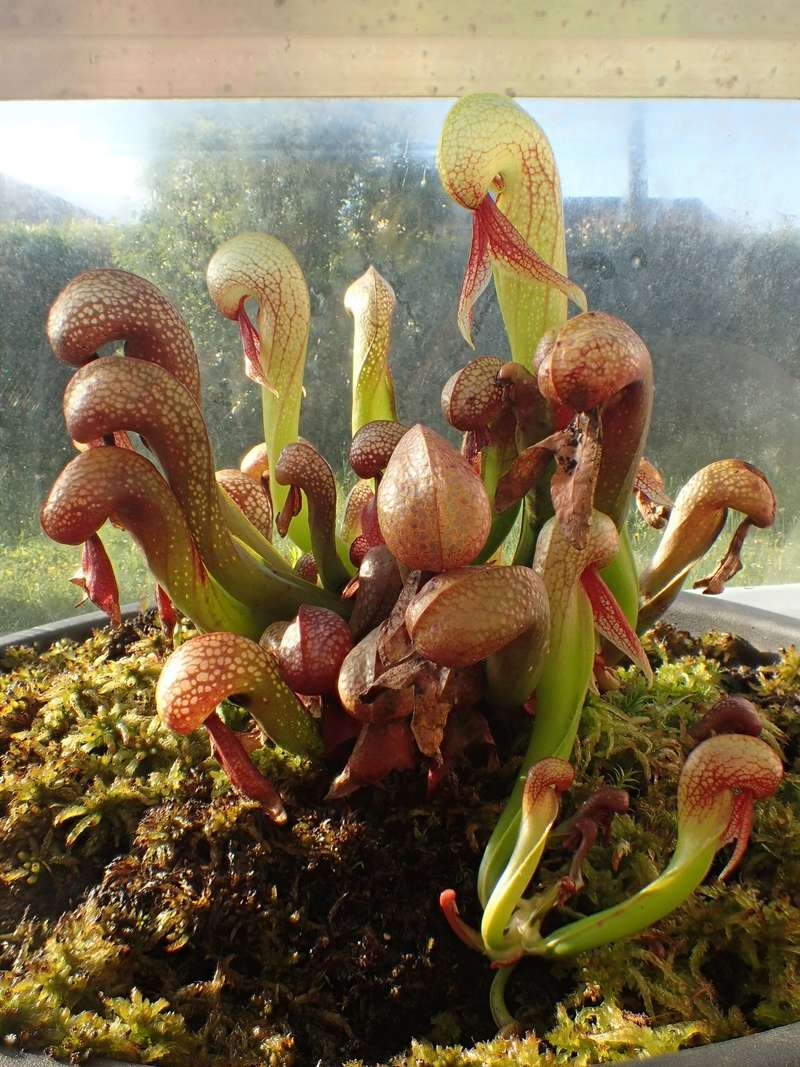 "Darlingtonia 'mes protégés"" 19_05_12"