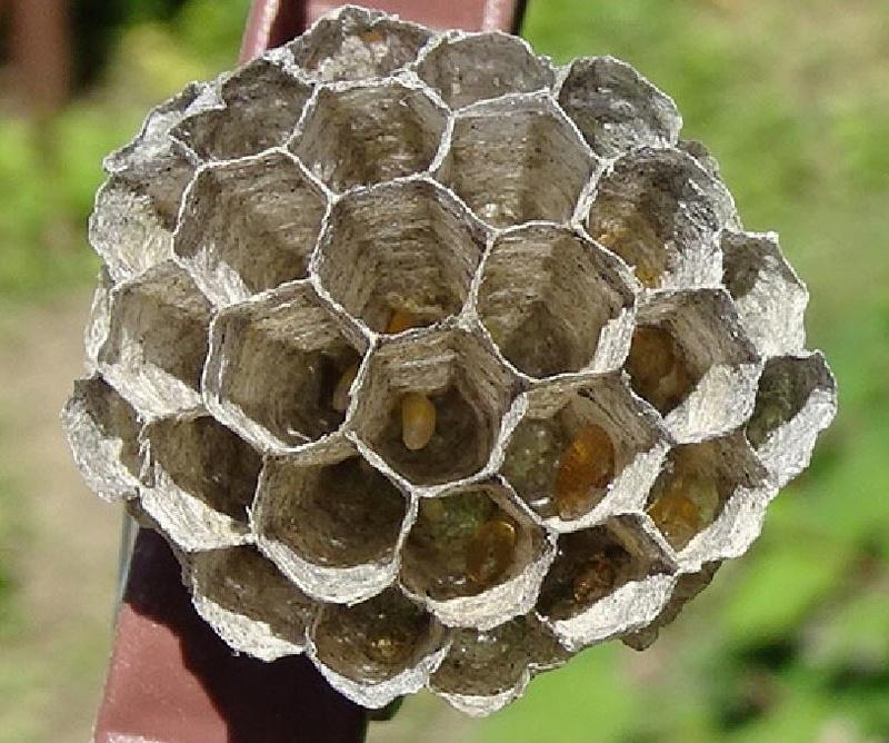 Mon petit nid de guêpes Captur18