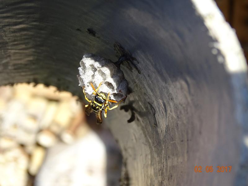 Mon petit nid de guêpes Dsc00812