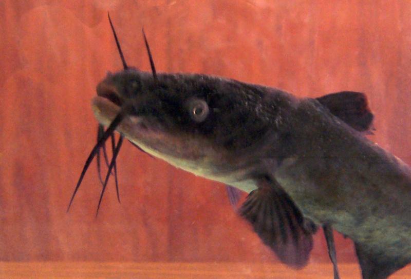 Le poisson chat 100_9212