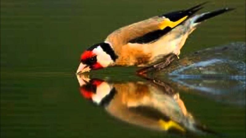 Drôles d'oiseaux Chardo11