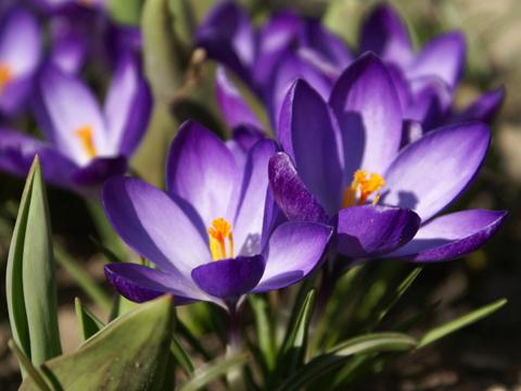 Fleurs de saison Crocus11