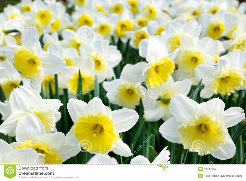 Fleurs de saison Narcis10