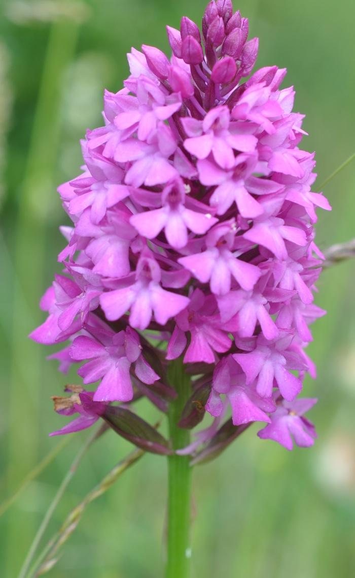 Fleurs de saison Orchis10