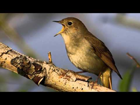 Drôles d'oiseaux Rossig10