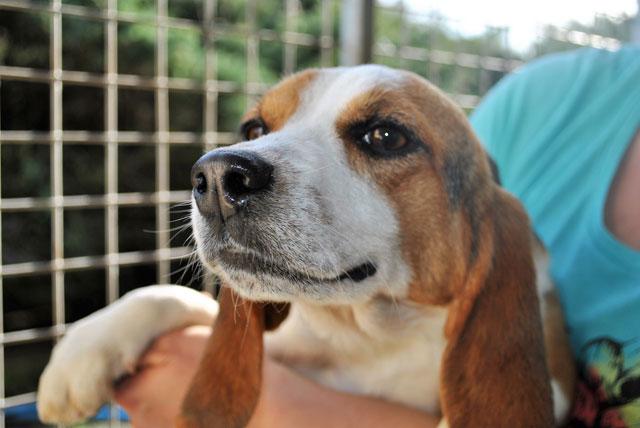 GRAAL - Réhabilitation de 8 beagles Gloria10