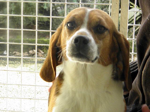 GRAAL - Réhabilitation de 8 beagles Pilou110
