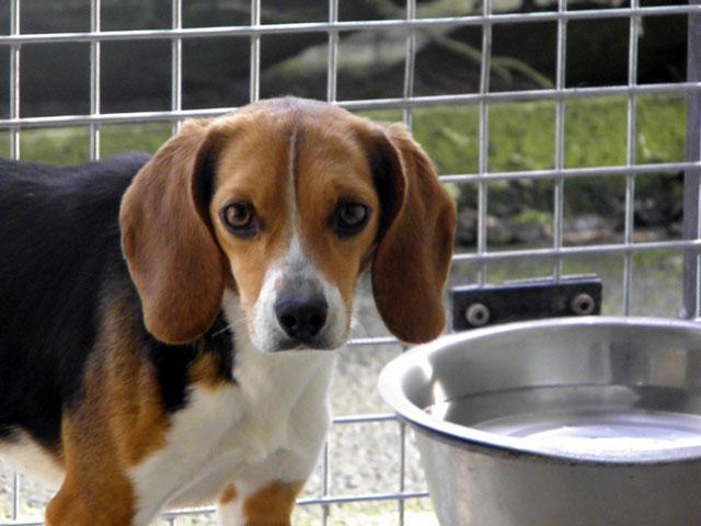 GRAAL - Réhabilitation de 8 beagles Romy110