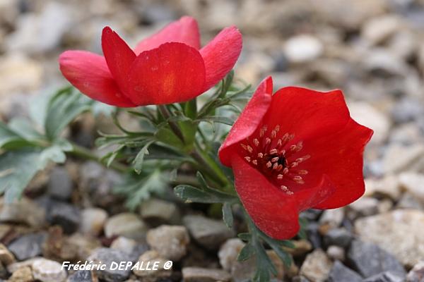 Anemone biflora Anemon10