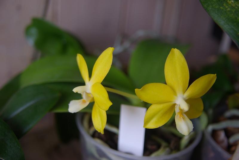floraisons des orchidées - Page 41 Imgp7516
