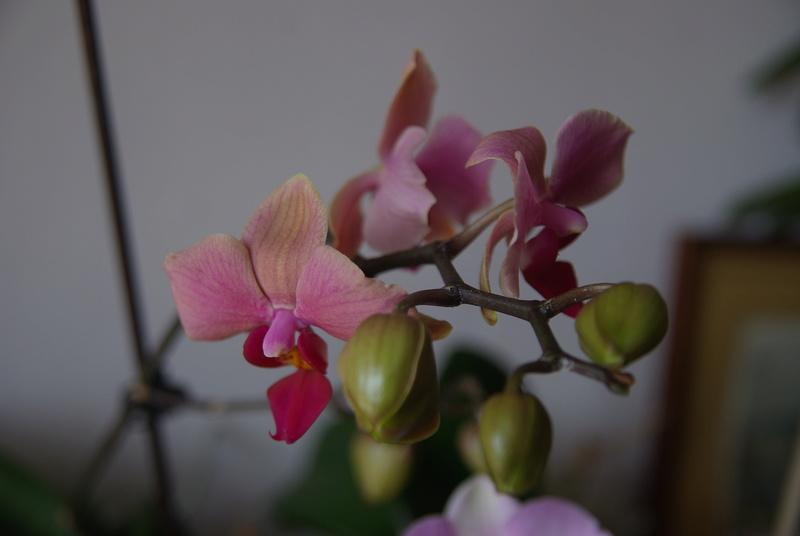 floraisons des orchidées - Page 41 Imgp7517