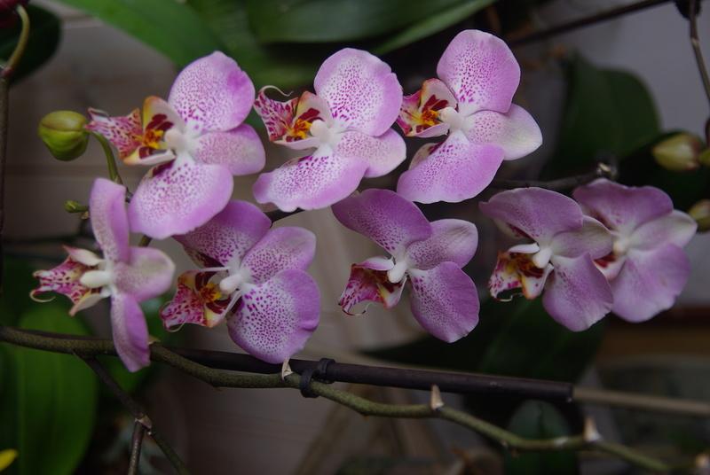 floraisons des orchidées - Page 41 Imgp7518