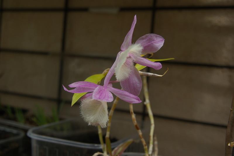 floraisons des orchidées - Page 42 Imgp7664