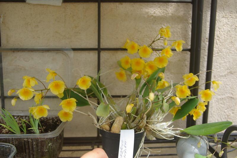 floraisons des orchidées - Page 42 Imgp7665