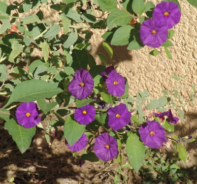 Solanum rantonnetii Dsc03210