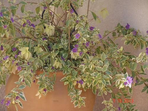 Solanum rantonnetii Dsc03211