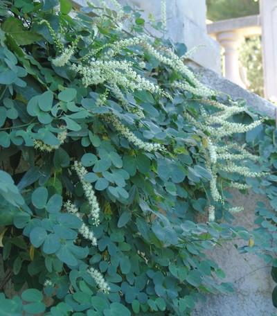 Anredera cordifolia = Boussingaultia baselloides - boussingaultie Dsc03315