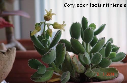 Cotyledon tomentosa subsp. tomentosa Dsc03512