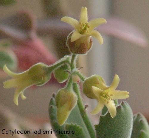 Cotyledon tomentosa subsp. tomentosa Dsc03513
