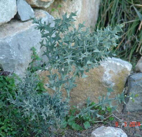 Colletia paradoxa (= Colletia cruciata) Dsc03626