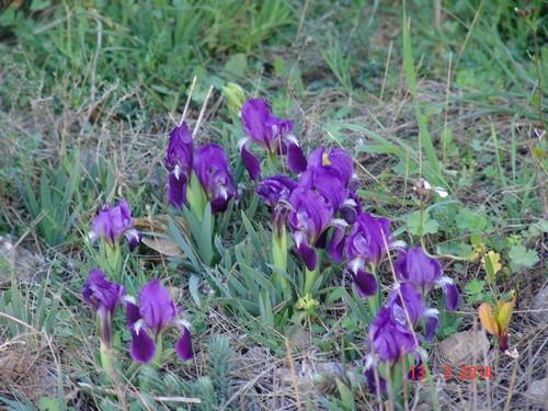 Iris lutescens - iris des garrigues, iris jaunâtre Dsc03630