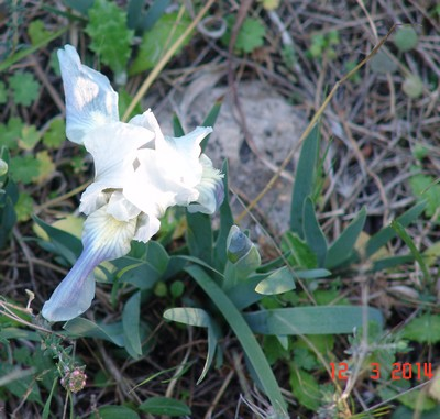 Iris lutescens - iris des garrigues, iris jaunâtre Dsc03634