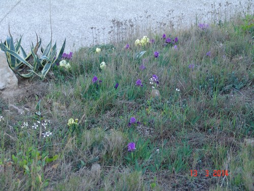 Iris lutescens - iris des garrigues, iris jaunâtre Dsc03710