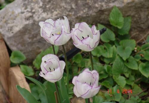 Tulipa - grands hybrides - tulipes chics et kitch (sections 1 à 11) - Page 6 Dsc03814