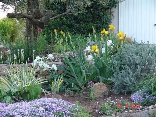 Floraison de nos iris barbus saison 2014 - Page 2 Dsc03824