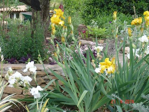 Floraison de nos iris barbus saison 2014 - Page 2 Dsc03825