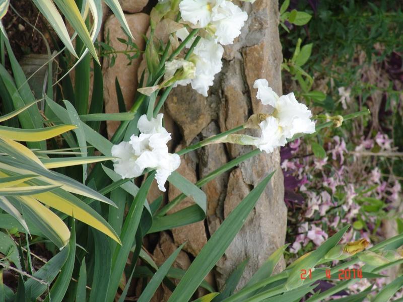 Floraison de nos iris barbus saison 2014 - Page 3 Dsc03826