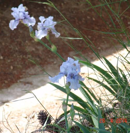 Floraison de nos iris barbus saison 2014 - Page 2 Dsc03920