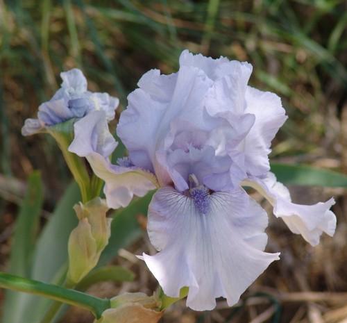 Floraison de nos iris barbus saison 2014 - Page 3 Dsc03922