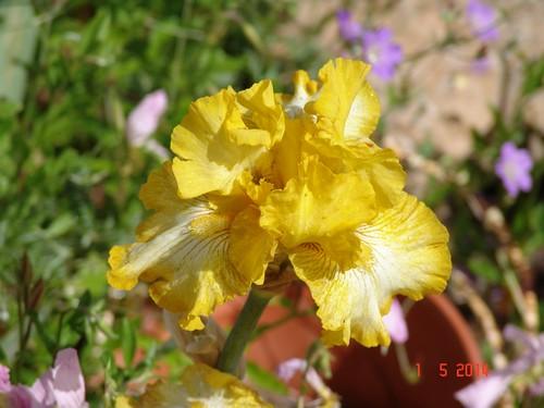 Floraison de nos iris barbus saison 2014 - Page 3 Dsc03923