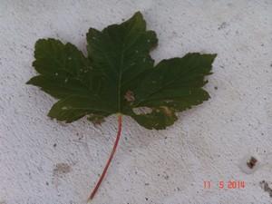 Acer pseudoplatanus et Acer sp.  [identifications non terminées] Dsc04017