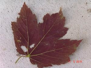Acer pseudoplatanus et Acer sp.  [identifications non terminées] Dsc04018