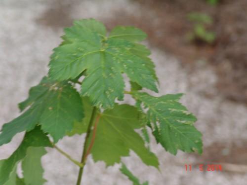 Acer pseudoplatanus et Acer sp.  [identifications non terminées] Dsc04019