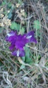 Iris lutescens - iris des garrigues, iris jaunâtre Dsc03628
