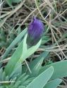 Iris lutescens - iris des garrigues, iris jaunâtre Dsc03629