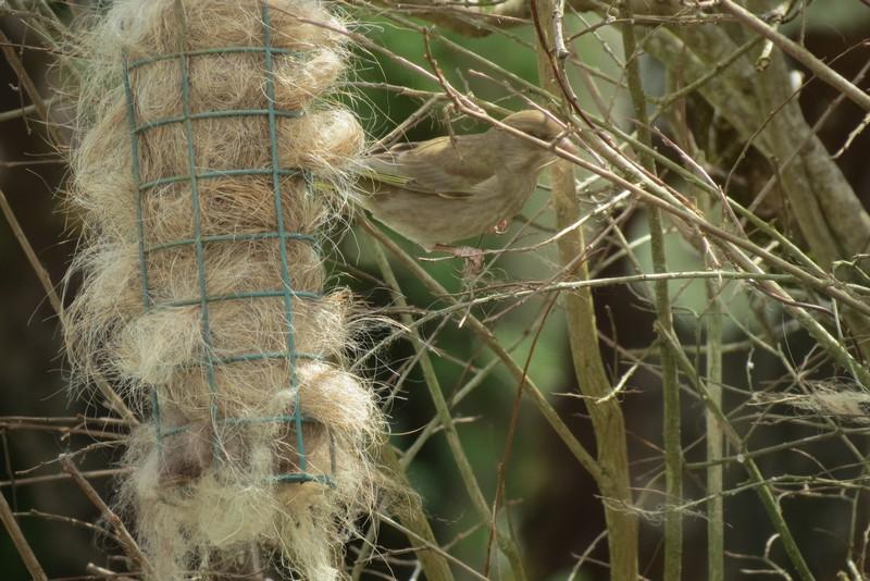 oiseaux du jardin Img_6418