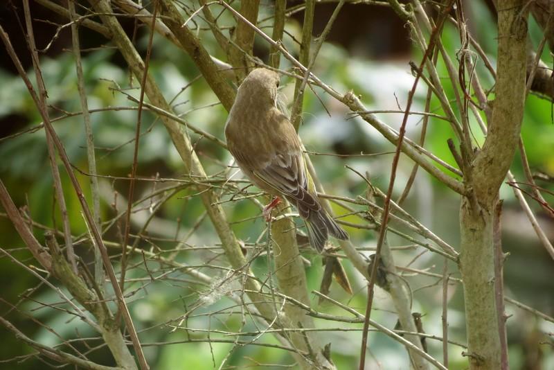 oiseaux du jardin Img_6419