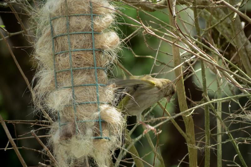 oiseaux du jardin Img_6420