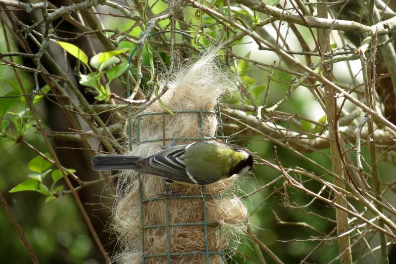 oiseaux du jardin Img_6422