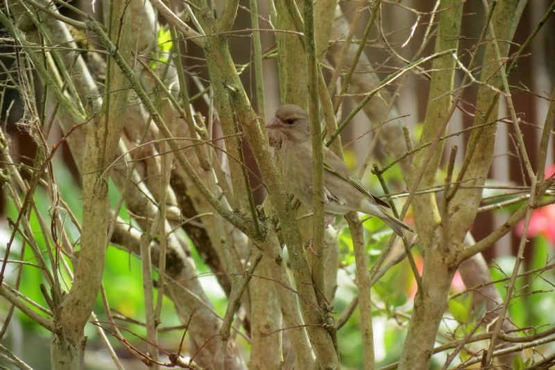oiseaux du jardin Img_6423